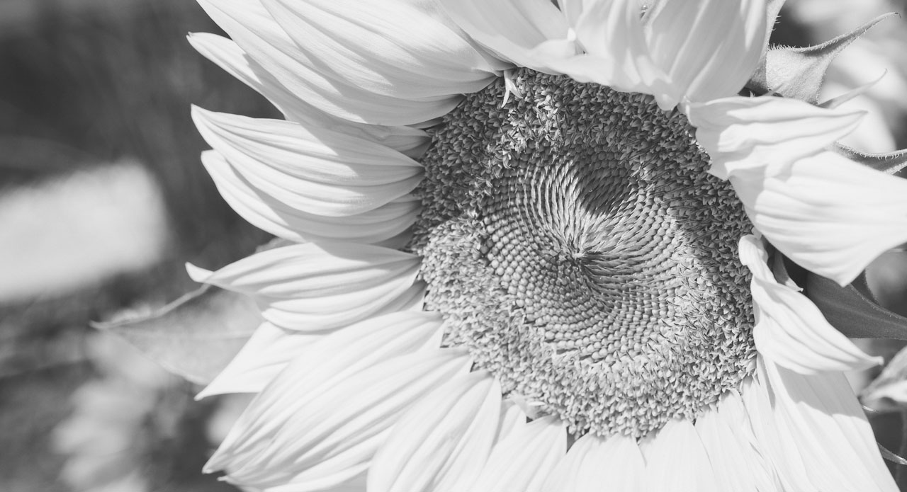 Picture of a sunflower black and white grayscaled
